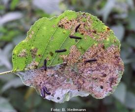 thumb_erlenblattkaferlarve