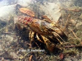 amerikanischer Flusskrebs (Foto: B. Heitmann)