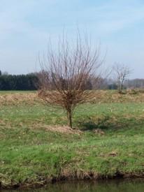 Kopfbaum (Foto: B. Heitmann)