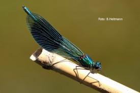 gebänderte Prachlibelle; Männchen (Foto: B. Heitmann)