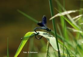 Paarungsrad der Prachtlibellen (Foto: B. Heitmann)