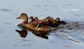 Entenfamilie (Foto: B. Heitmann)