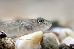 Grundel, eine invasive Kleinfischart; Foto: B. Heitmann