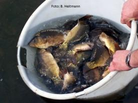 Fischbesatz (Foto: B. Heitmann)