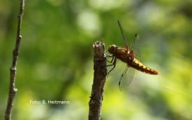 Plattbauch Weibchen (Foto: B. Heitmann)