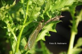 geschlüpfte Libelle (Foto: B. Heitmann)