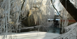 Dinkel im Winter Foto: Mensing